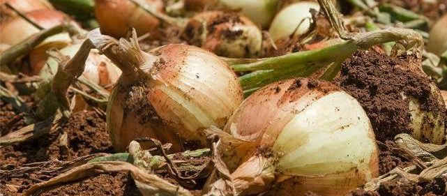 cropped-onions-in-dirt.jpg
